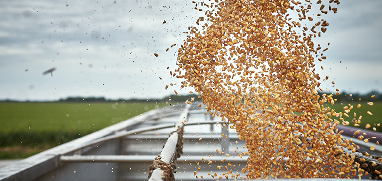 Corn flows into an open trailer on a sunny day.