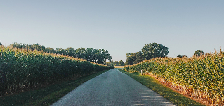 Narrow dirt road between two tall corn fields ready for harvest.
