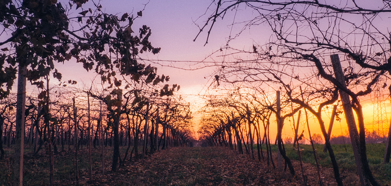 Sunrise in the fall in an apple orchard, cherry orchard or vineyard.