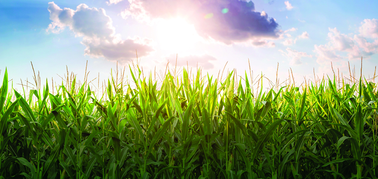 Field of growing corn with sun shining on it