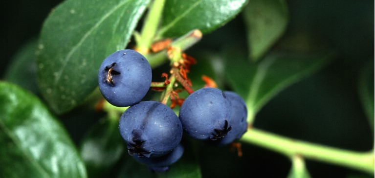 Close-up of blueberries on bush