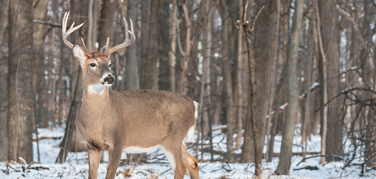 Photo of six point buck standing in snow-covered woods.