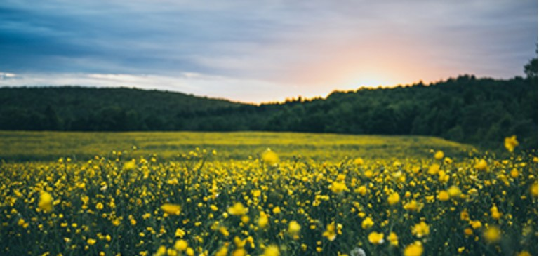 Country Meadow at Sunrise with Yellow Flowers