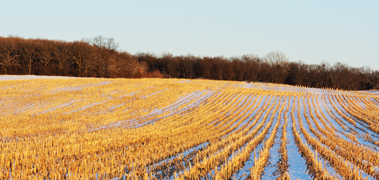 Cornfield in the winter with snow during harvest season