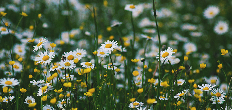 daisies and wildflowers