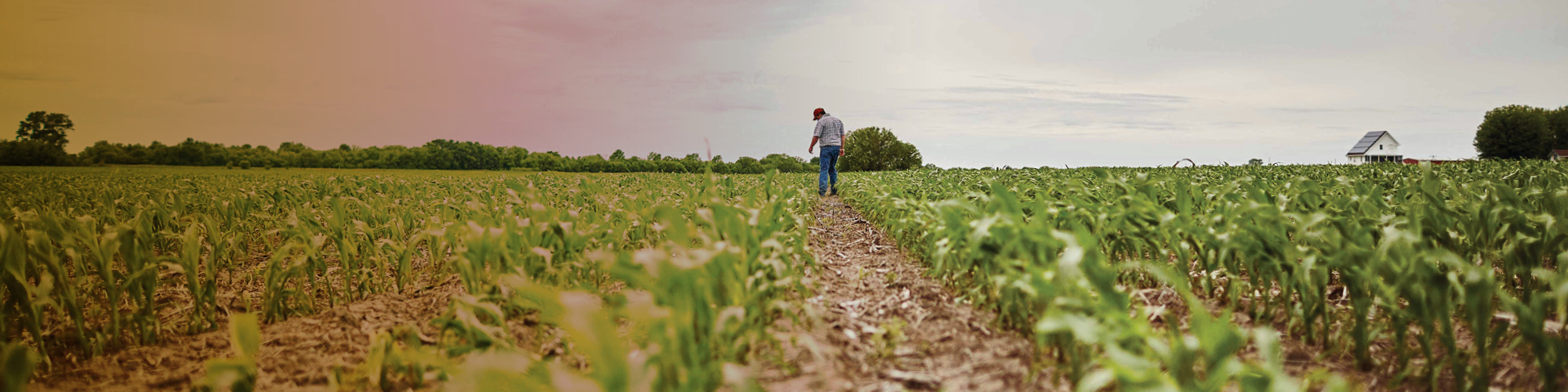 Man standing in field fo growing grops