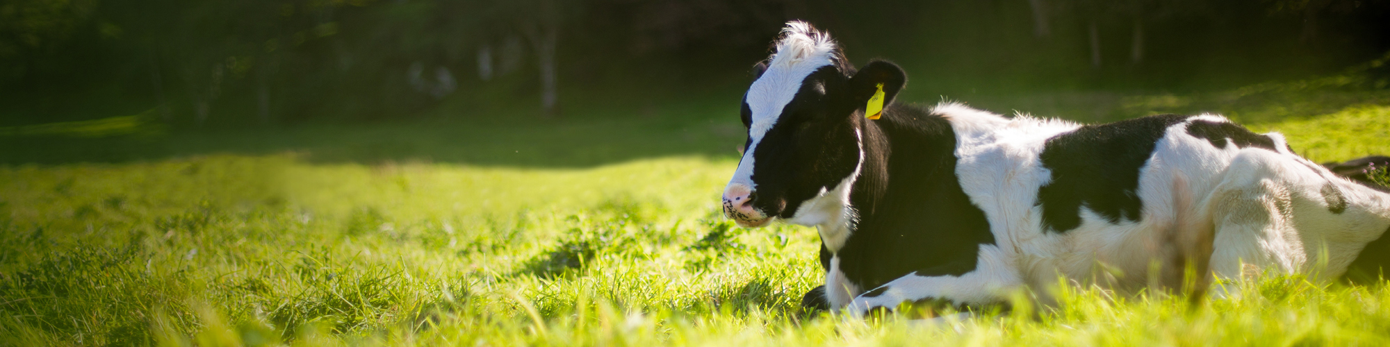 Dairy cow laying in field fo grass
