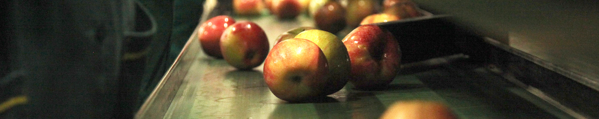 Apples on a processing line