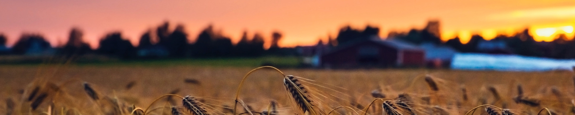 Wheat field in evening